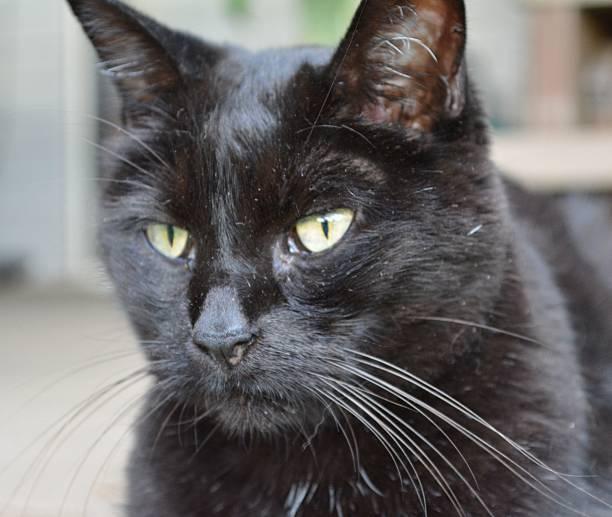 Black Domestic Short Hair Cat stock photo