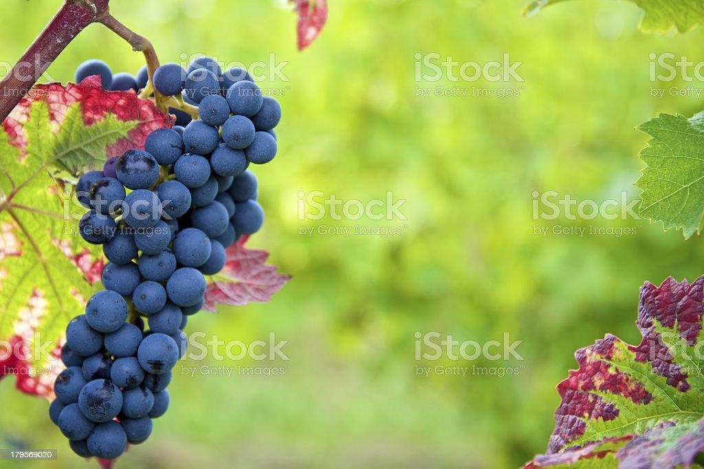 black dornfelder grapes in autumn colored vineyard royalty-free stock photo