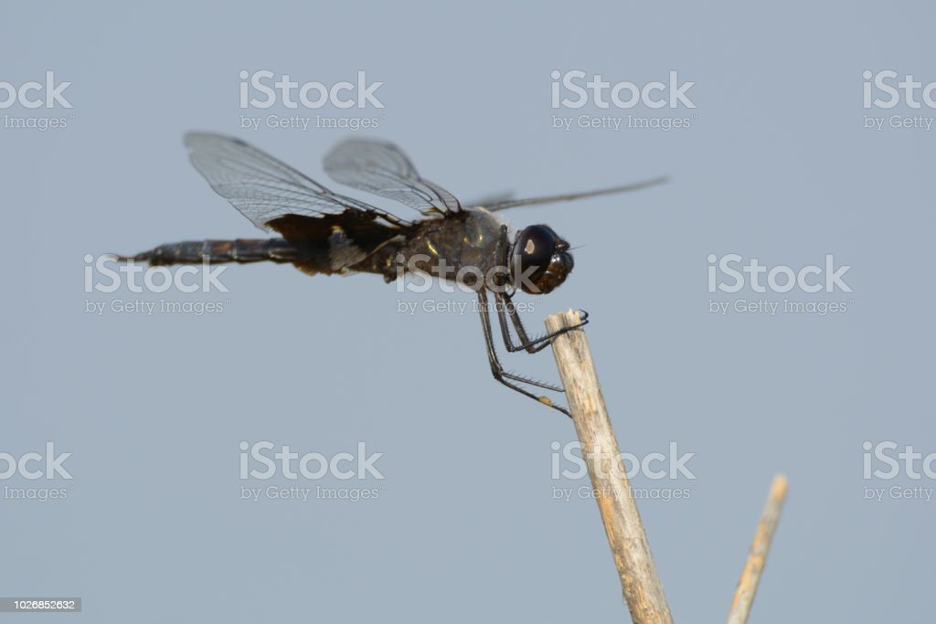 Black Dragonfly On Twig Stock Photo - Download Image Now
