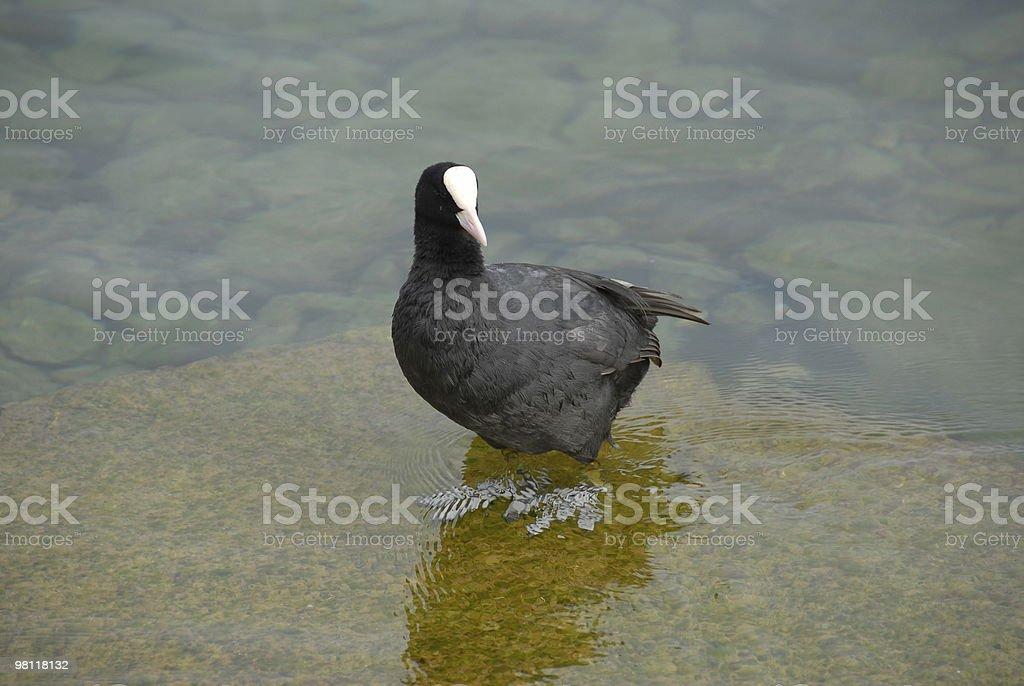 Black Duck royalty-free stock photo