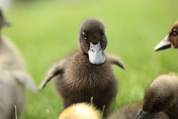 Best Ugly Duckling Stock Photos, Pictures  Royalty-Free -2936
