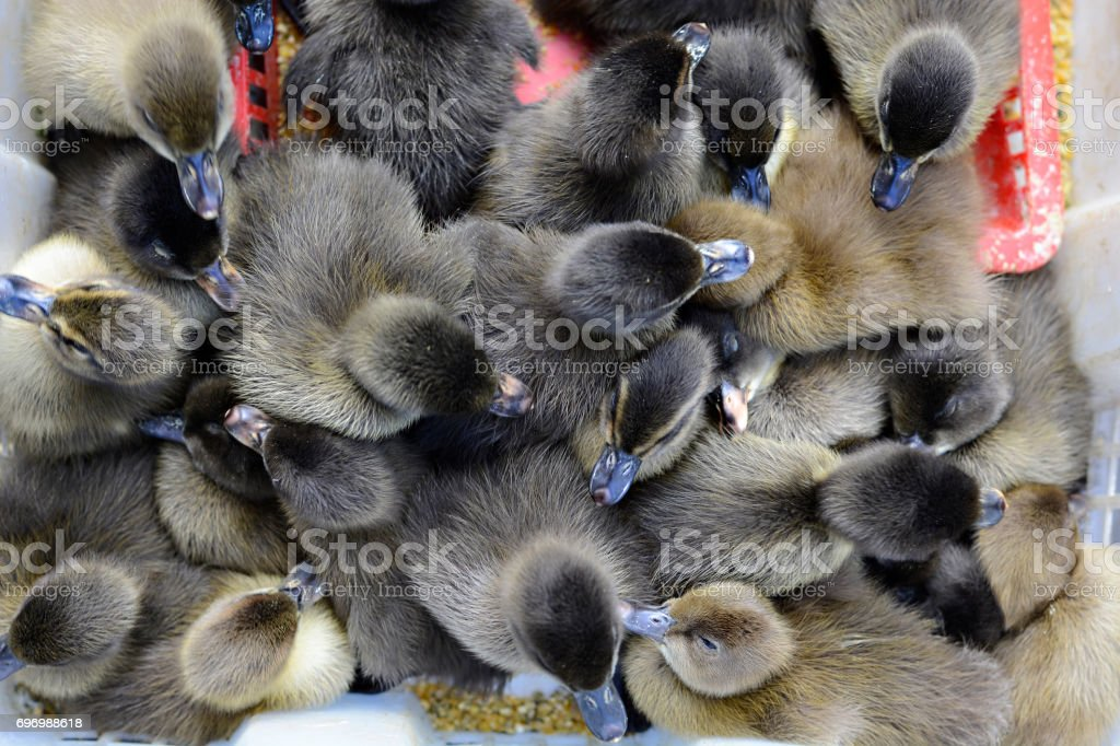 Black ducklings being sold at street market. overhead shot stock photo