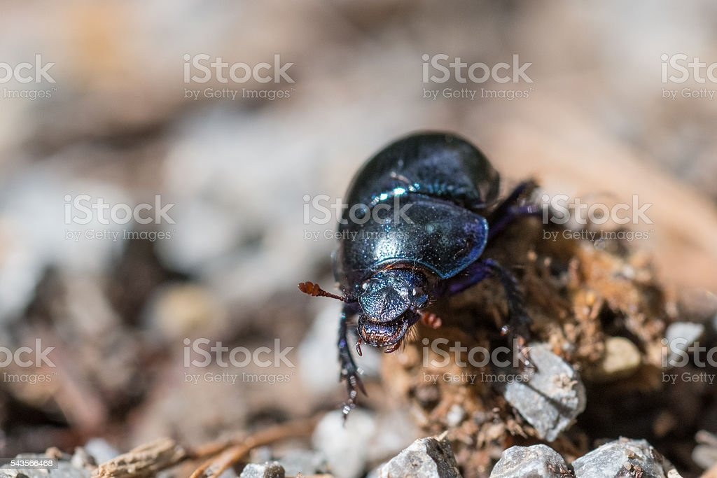 Black dung beetle stock photo