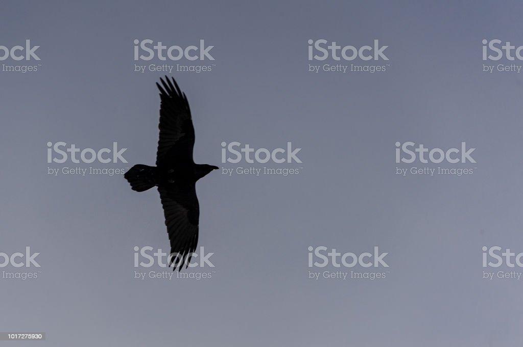 Águia Negra voando sozinho no céu - foto de acervo