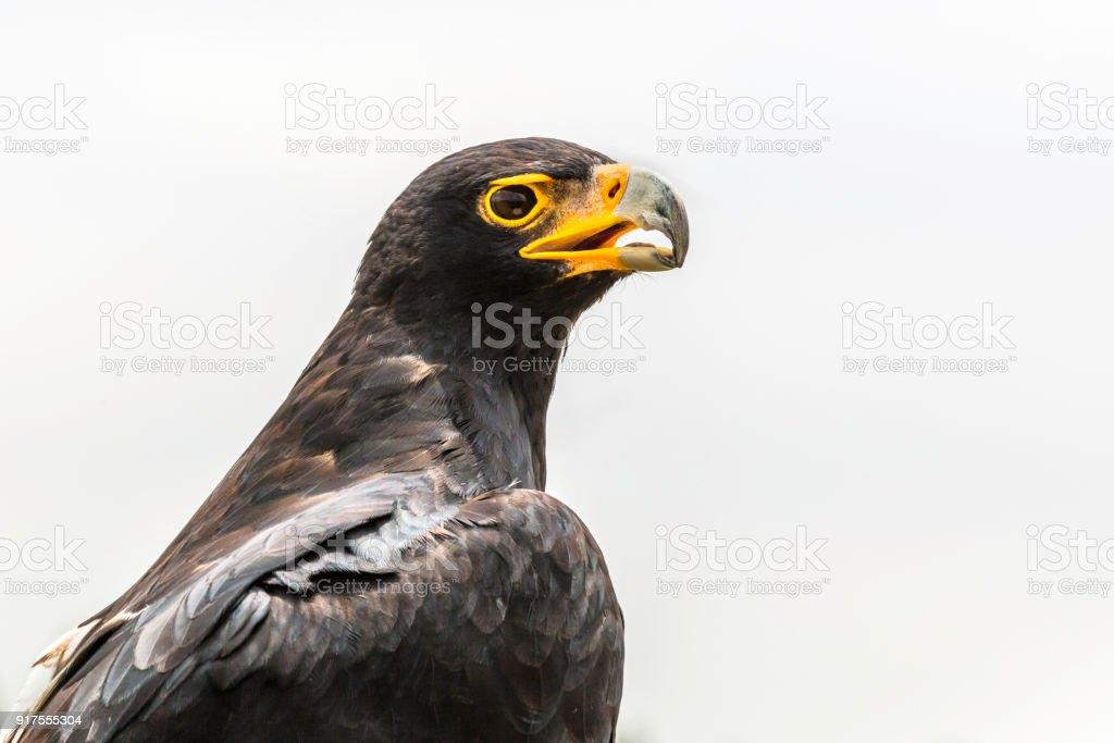 Tiro na cabeça de águia negra - foto de acervo