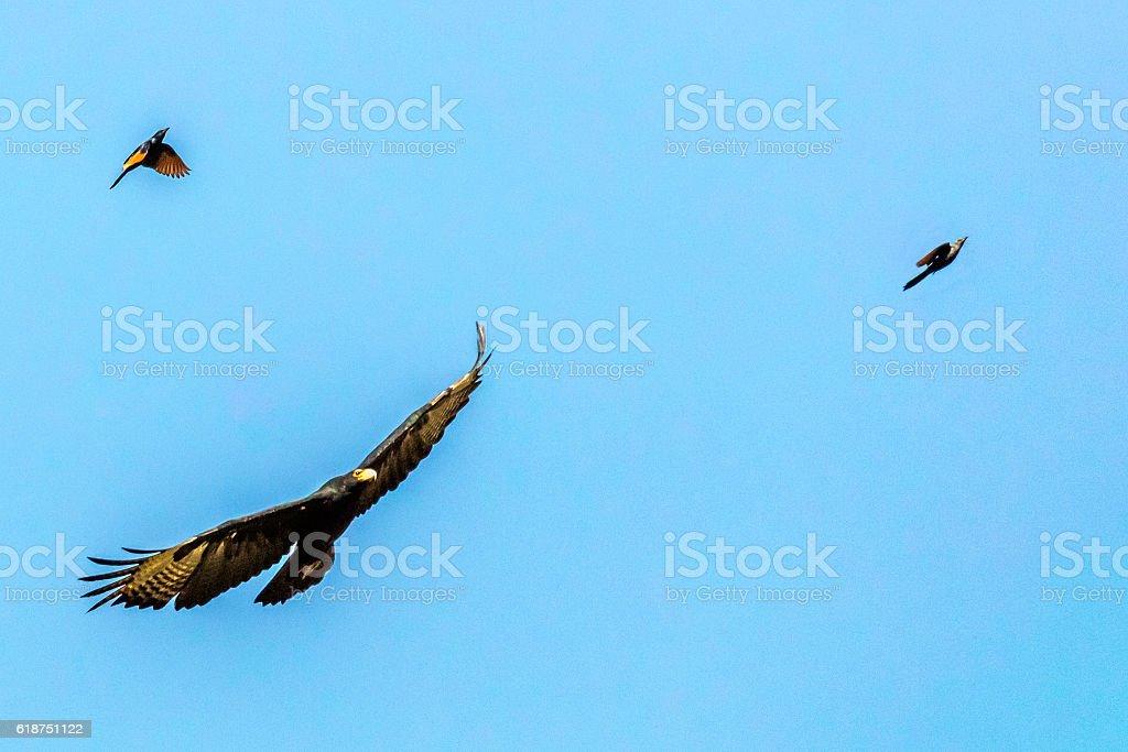 Black Eagle in flight together with young eaglets - foto de acervo