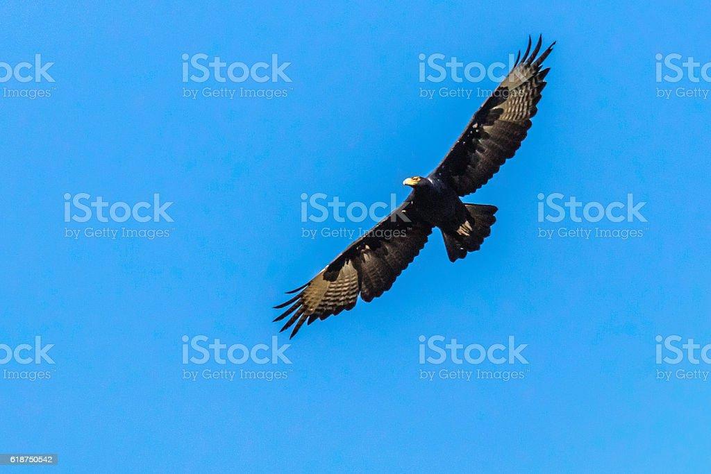 Black Eagle in flight with wings wide open - foto de acervo