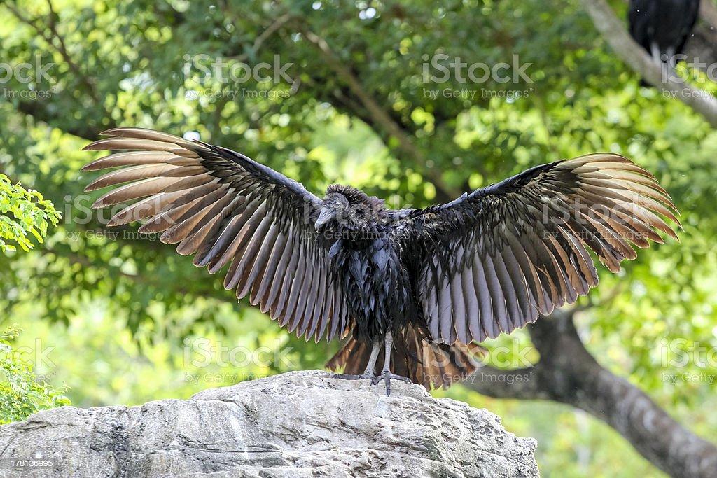 Black Eagle aberto das asas - foto de acervo