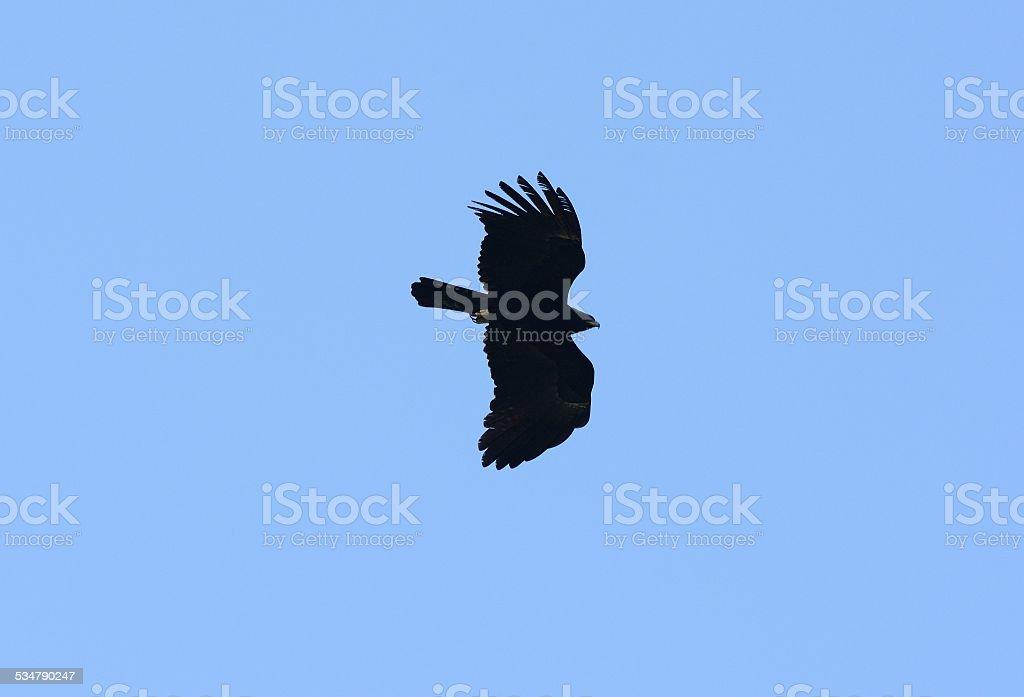 Águia Negra (Ictinaetus malayensis) - foto de acervo