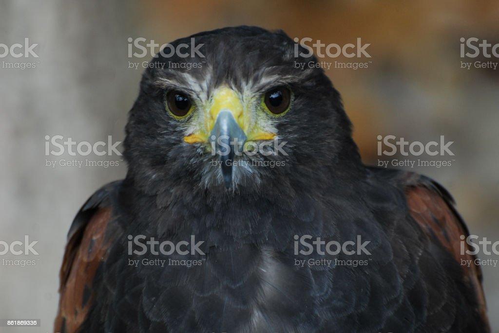 Águia Negra - foto de acervo