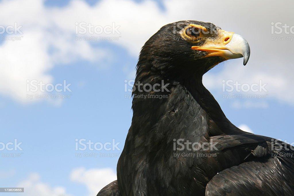 black eagle perfil - foto de acervo