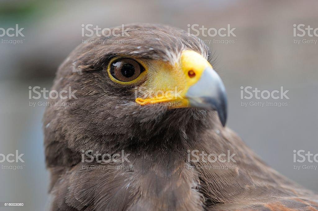 black eagle turns its head - foto de acervo