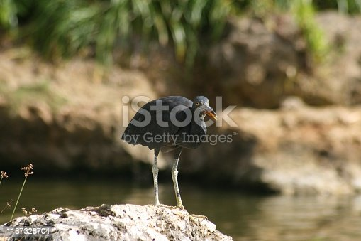 Black egret standing in the pond, looking forward