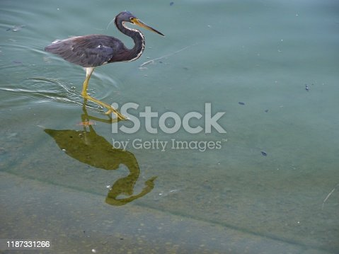 Black egret wading in the waters, with reflections
