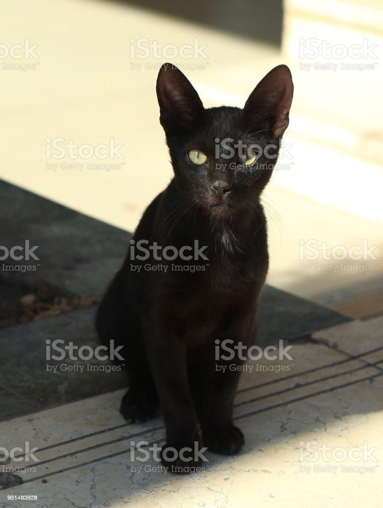 black egyptian cat looking like bastet goddes from antient egyptian myths stock photo