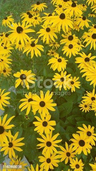 Black-eyed susans in full bloom