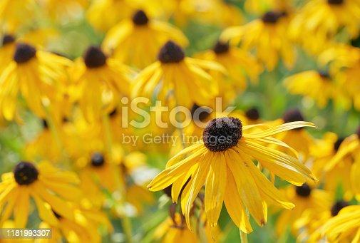 Black eyed susan close-up - rudbeckia flowers.