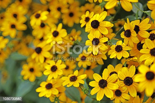Black eyed susans add a splash of color in many parts of the Midwest