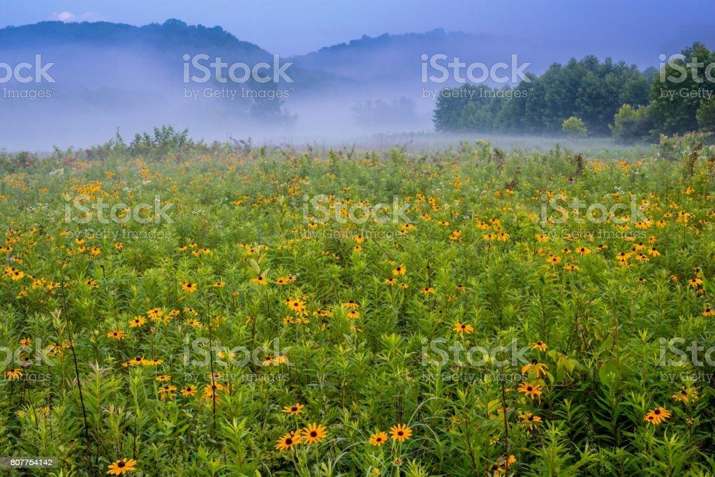 Black Eyed Susan Flowers in Bloom in Ohio stock photo