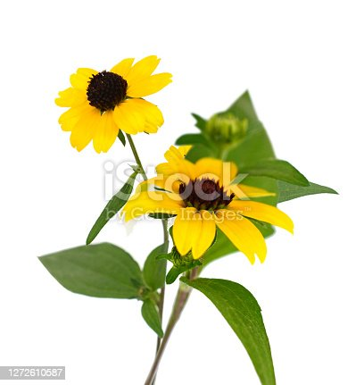 Black eyed susan flowers isolated on white background
