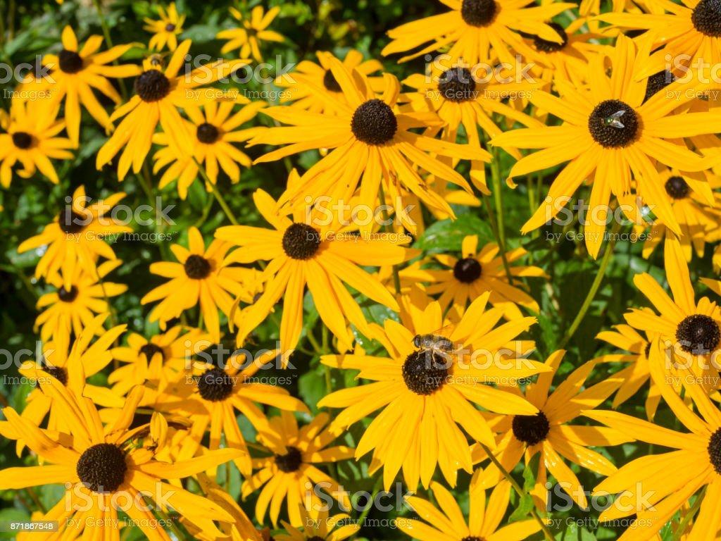 Black Eyed Susan nature flowerbed stock photo