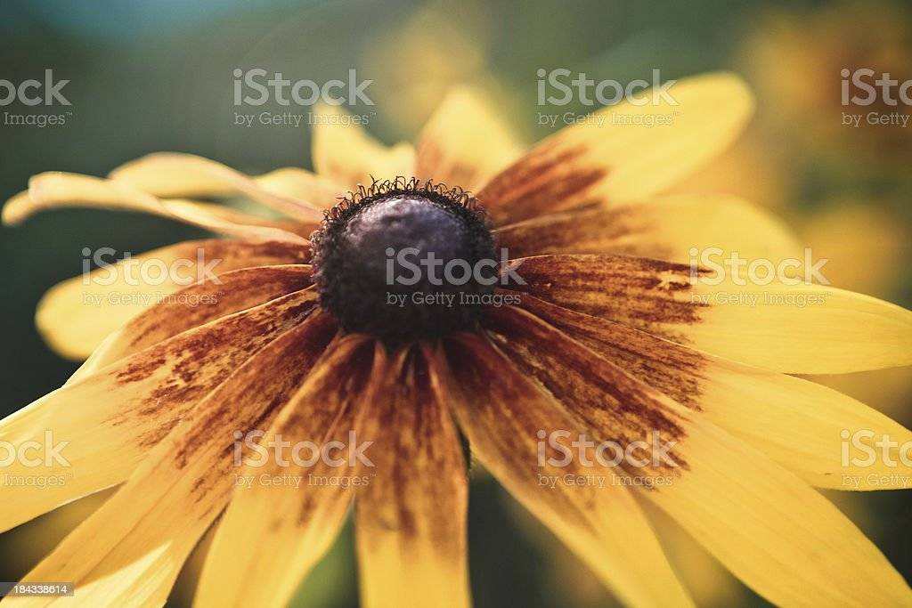 Black Eyed Susan royalty-free stock photo