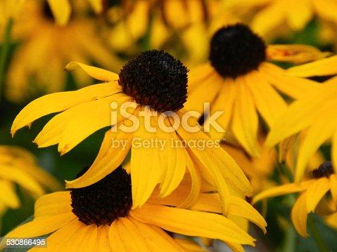 Black Eyed Susan in full bloom in garden during summer
