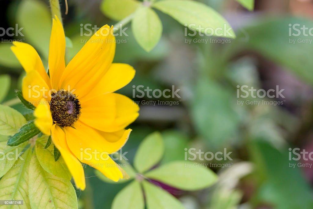Black Eyed Susan royalty-free stock photo
