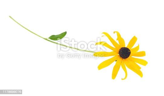 Black eyed susan - rudbeckia flowers isolated on white background.