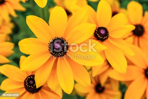 Black eyed susan, rudbeckia flowers