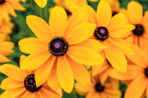 Black eyed susan, rudbeckia flowers
