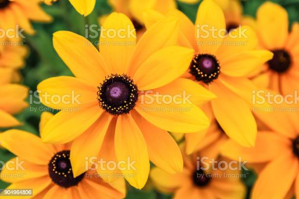 Photo of Black eyed susan, rudbeckia flowers