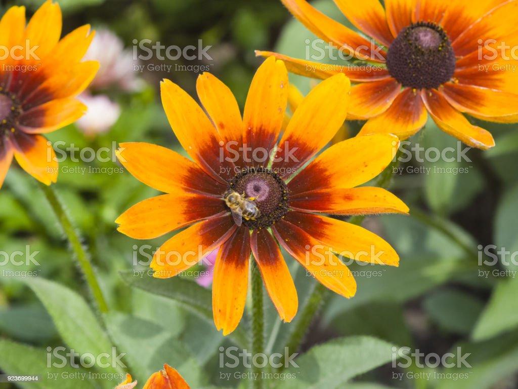 Black Eyed Susan Rudbeckia Hirta Red And Yellow Flowers Closeup