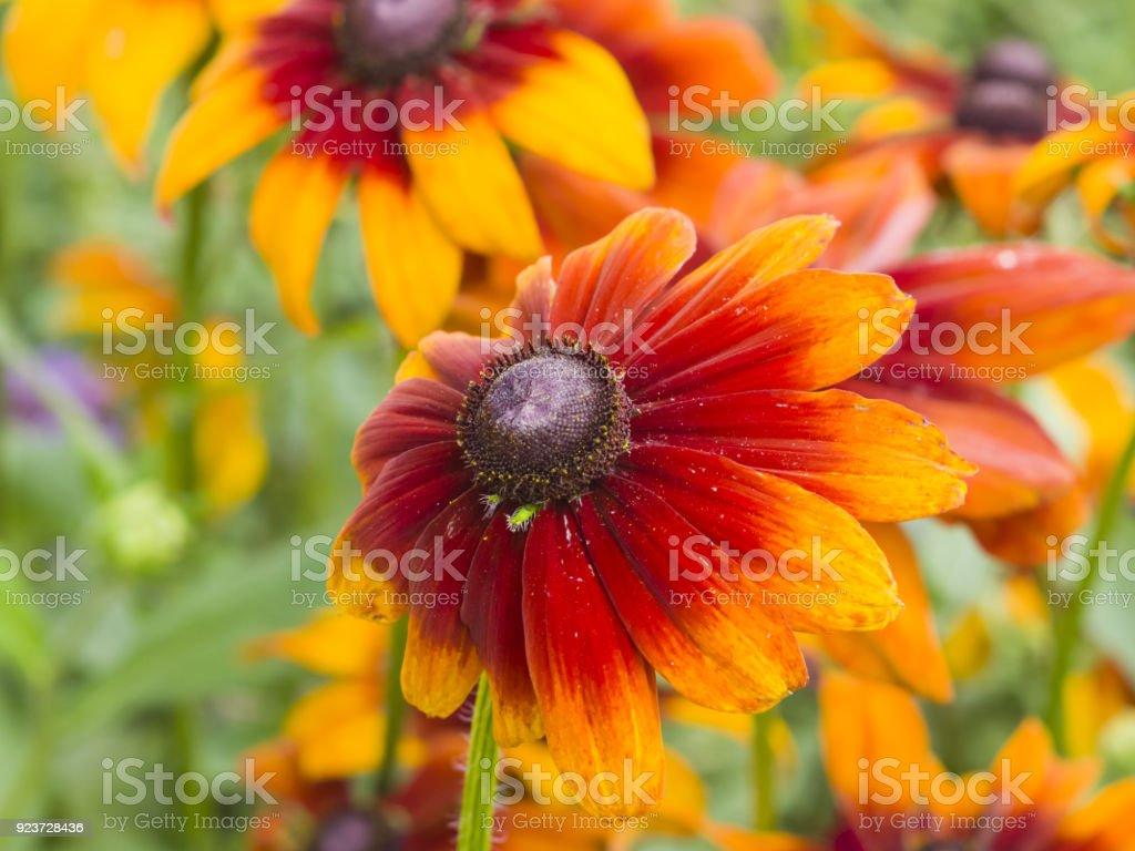Black Eyed Susan, Rudbeckia hirta, red and yellow flowers close-up, selective focus, shallow DOF stock photo
