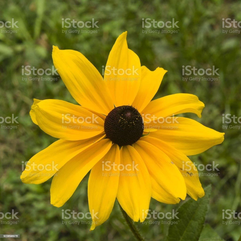 Black Eyed Susan, Rudbeckia hirta, yellow flowers close-up, selective focus, shallow DOF stock photo