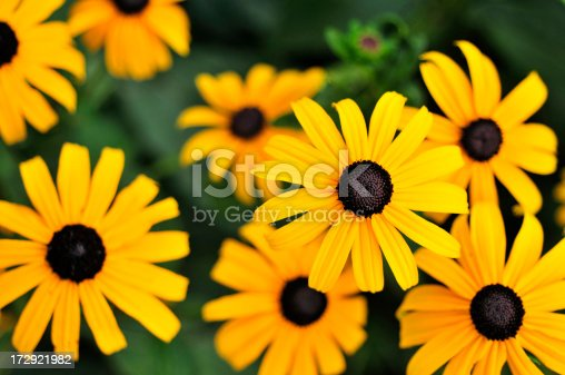 Top view of popular Black Eyed Susans.    For more of my flowers (CLICK HERE)