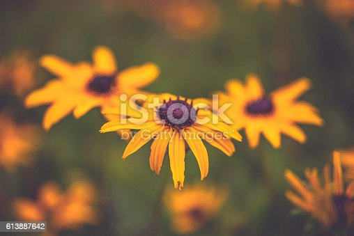Black eyed Susan wildflowers growing wild in field with sunlight. Colorado, USA