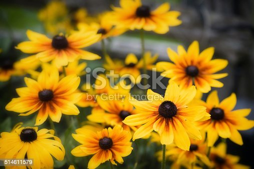 A close up of black eyed susan flowers during the summer season.
