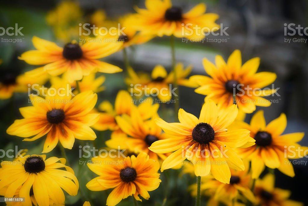 Black Eyed Susans - Close Up stock photo