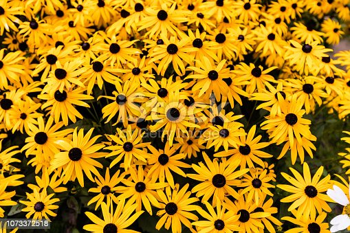 Black eyed Susan's growing in north Quebec Canada.