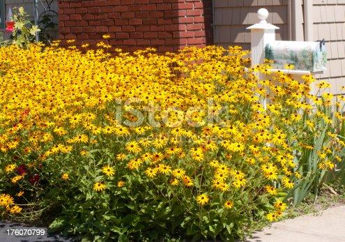 Black eyed susans perennial flower in small home garden.