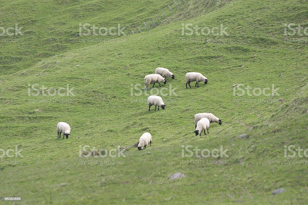 Black face sheep royalty-free stock photo