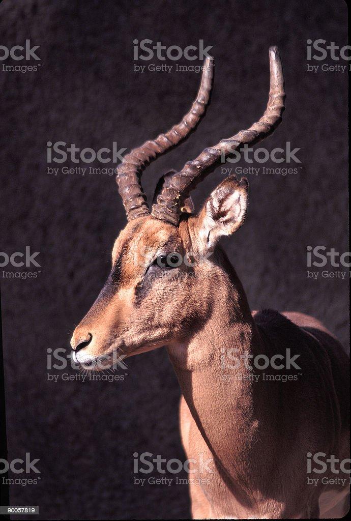 Black Faced Impala stock photo