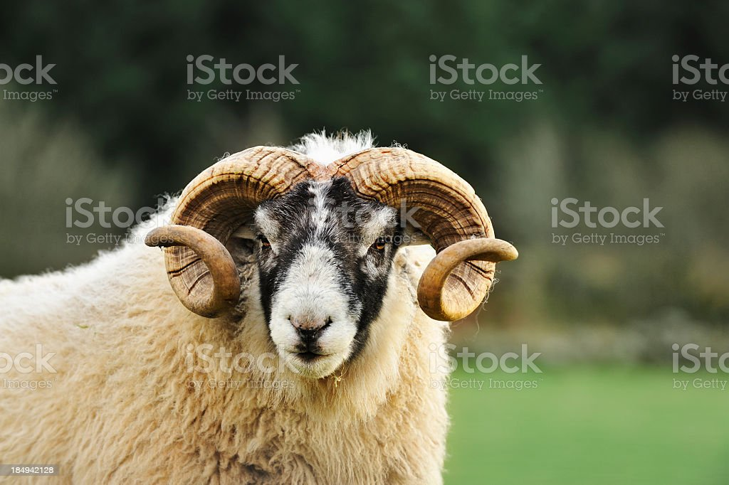 Black faced ram in a Scottish rural setting stock photo