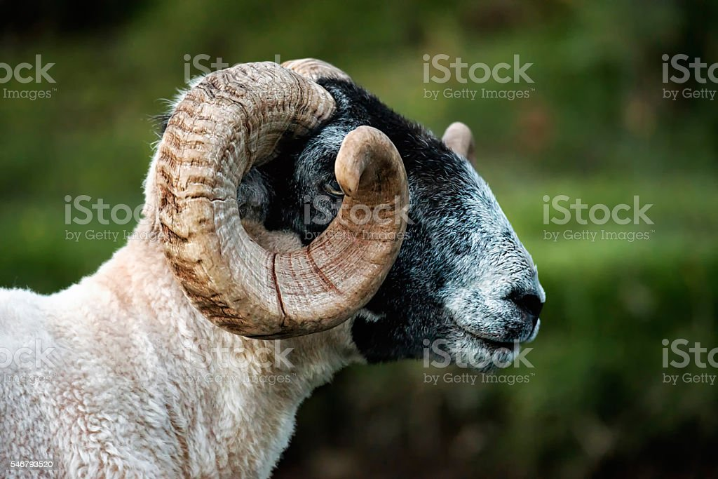 Black Faced Ram stock photo