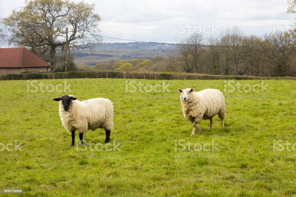 Black Faced Sheep In West Sussex England Stock Photo