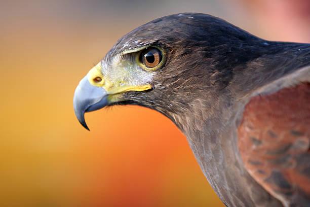 black falcon - falcon bird stock photos and pictures