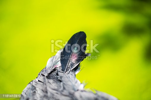 istock black feather from an angel's wing, 1151412310