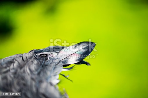 istock black feather from an angel's wing, 1151412327