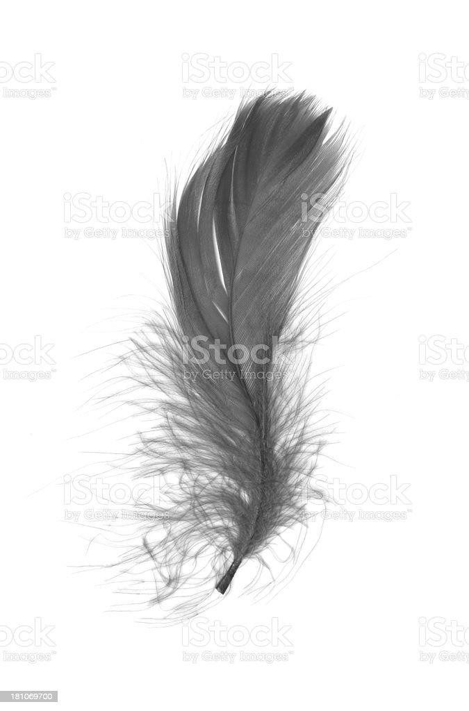 Black feather isolated on white background stock photo